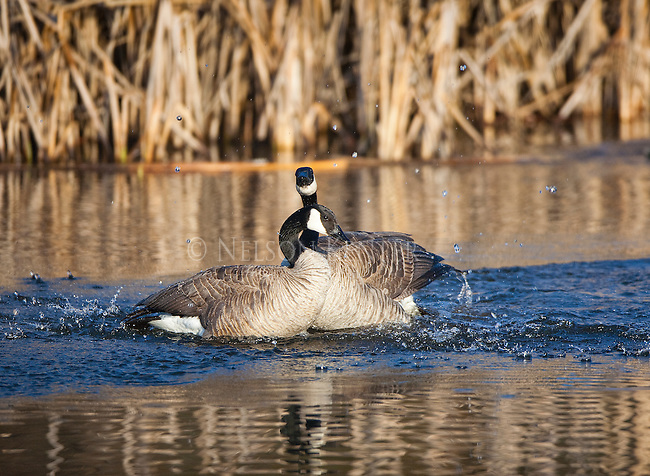 Canada Geese pair in a cattail marsh