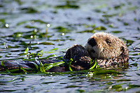 A sea otter swims through an eel grass bed in Elkhorn Slough - Moss Landing, California.