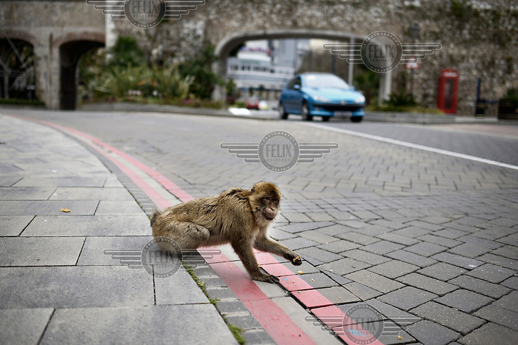 A Barbary Macques, one of a population of around 300 and the only wild monkeys in Europe, grabs a morsel of food from a roadside. Superstition holds that if ever the Apes leave Gibraltar, the British will go too.