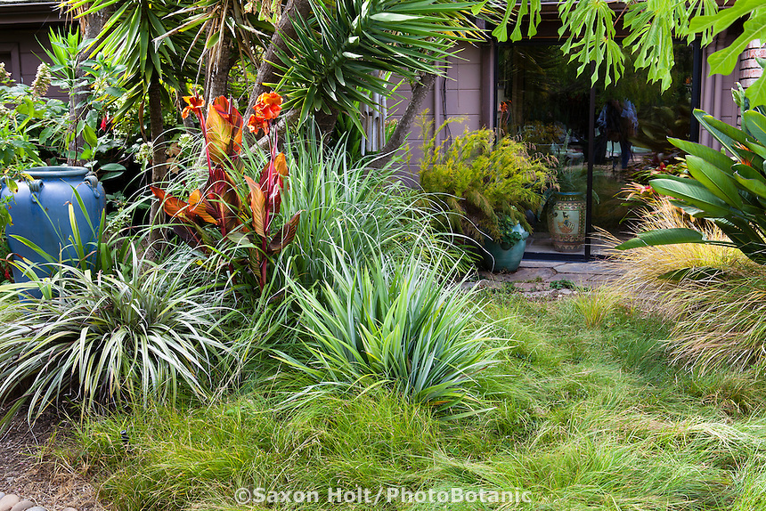 Silver Sword, Astelia, gray leaf foliage plant with grasses as small sedge meadow lawn substitute in Sherry Merciari backyard California garden