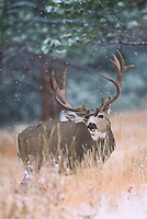 Mule deer in Colorado