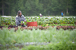 An organic farmer in Palmer, Alaska, harvests produce.