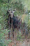 Moose blending in with the environment while foraging through the woods in northern Idaho