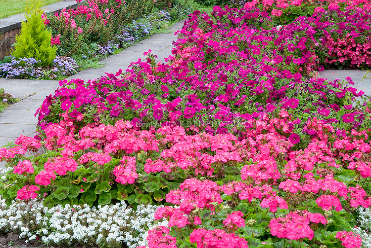 Pink garden annual flower bedding: Geranium, Begonia, Petunia Alyssum in shades of pinks in mass planting