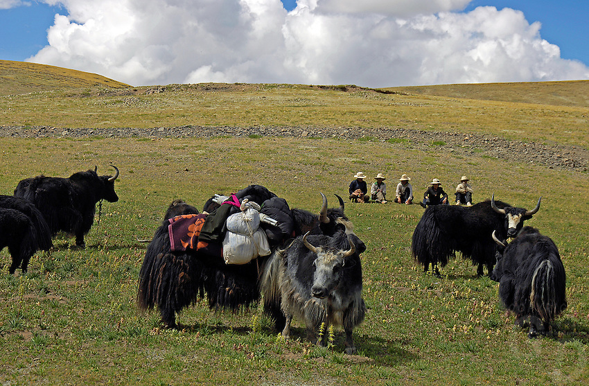Tibetan nomads taken a rest with their Yaks on the Tibetan Plateau, the average elevation exceeding 4,500 metres (14,800 ft), the Tibetan Plateau is sometimes called &quot;the Roof of the World&quot; and is the world's highest and largest plateau. China.<br /> Domesticated yaks have been kept for thousands of years, primarily for their milk, fibre and meat, and as beasts of burden. Their dried droppings are an important fuel, used all over Tibet, and are often the only fuel available on the high treeless Tibetan Plateau