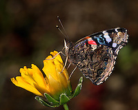 """Red Admiral Butterfly with a """"painted"""" look. The fill flash helped to brighten & highlight the insects beautiful colors here."""