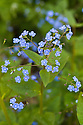 Pale blue flowers of low-growing, ground-covering perennial Brunnera macrophylla, mid April. Sometimes known as false forget-me-not.