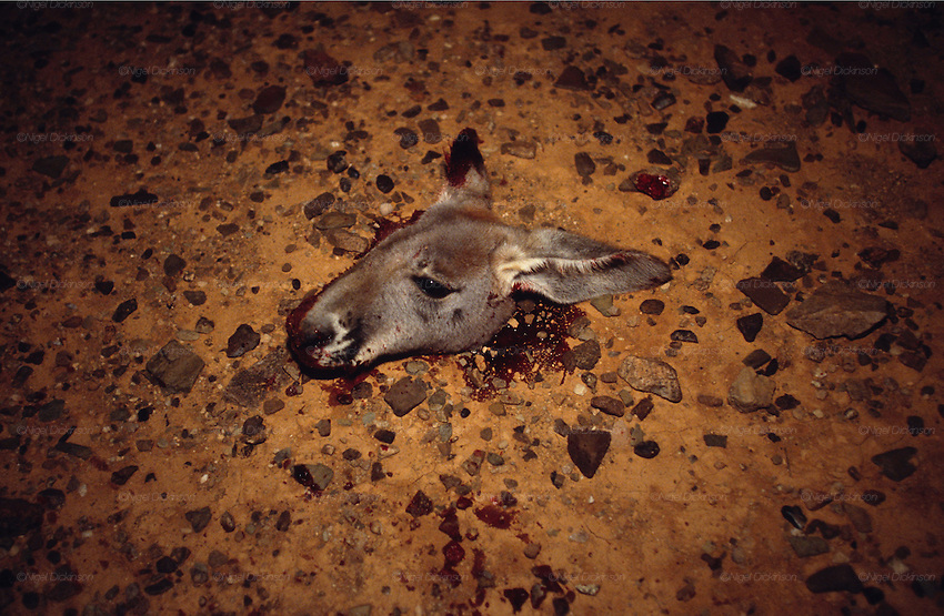 Australia, Queensland. Kangaroo hunting. Severed kangaroo head lying on ground after kill. 2001.'MEAT' across the World..foto © Nigel Dickinson