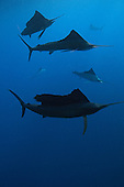 sailfish photos