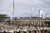 Cod Stockfish on wood drying racks, Lofoten, Norway