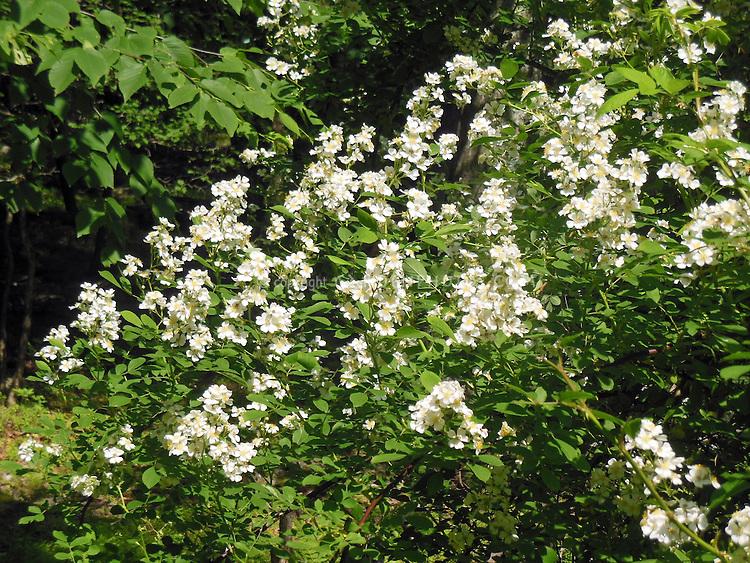 Rosa multiflora, invasive species rose