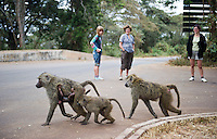 Tourists watching a Baboon family.