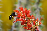 wasp on ocotillo bloom