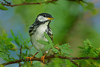 591510009 a wild male blackpoll warbler setophaga striata - was dendroica striata - in breeding plumage perches in a mesquite bush on south padre island texas united states