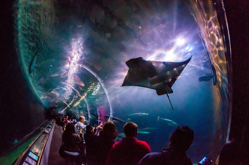 Manta Rays Aquarium Of The Bay Fisherman 39 S Wharf San Francisco California Usa Blaine