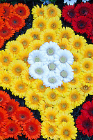 Gerbera Daisy Red Yellow and White