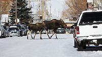 Moose family, downtown, Jackson, Wyoming