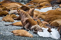 Steller sea lions, Boar's head, Prince William Sound, Alaska.