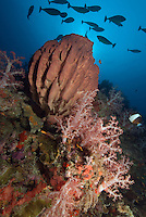 A school of unicornfish hover above soft corals and a large barrel sponge.  Narcondam Island, Andaman Islands, Andaman Sea, India