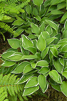 Hosta 'Allan P. McConnell' allen