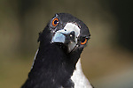 A male Australian Magpie (Artamidae (=Cracticidae): Cracticus (=Gymnorhina) tibicen) stares at a photographer before accepting a morsel of food from his hands.  //  Australian Magpie - Artamidae (=Cracticidae): Cracticus (=Gymnorhina) tibicen - length to 44cm; wingspan to 85cm; weight to 350g. Feeds mostly on the ground - insects, worms, small vertebrates, and frequently seen listening for subterranean noise from insect larvae that it digs up.  A sociable widespread species usually found in groups throughout most of Australia except for the heavily forested areas and the far northern coastal areas. A number of regional subspecies were previously classified as full species. May be aggressive during breeding season, especially if provoked by stone or stick throwing, and will swoop and dive at the transgressor to sometimes spear them with the sharp beak. Adult males are clear black and white, whereas females have varying degrees of grey feathering according to subspecies. Adult eyes are bright brown, juveniles are duller.  Juveniles are mottled brown or grey underneath. Has a very pleasant carolling song, as well as sharp alarm calls. Also found in the trans-Fly River area of New Guinea.