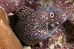Gardens of the Queen, Cuba; a Spotted Moray Eel being cleaned by a Broadstripe Goby while poking it's head out of an opening in the coral reef