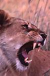 Lion, African wildlife, Kenya, Maasai Mara National Park, wildlife conservation, wildlife in natural habitat, animals in natural environment,