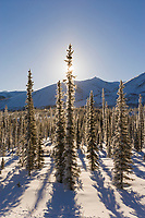 Winter boreal forest in the foothills of the Brooks Mountain Range, Arctic, Alaska