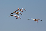 Snow Geese coming in for landing in a wheat field on the east front of the Rocky Mountains in Montana
