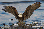 A bald eagle lands at the water's edge in Homer, Alaska.