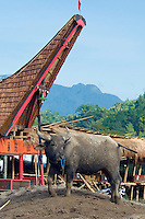 A funeral ceremony in Tana Toraja, Sulawesi, Indonesia