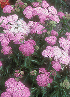 Pink Yarrow Achillea millefolium 'Appleblossom'