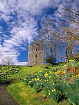 Scottish castle spring daffodils at Cardoness Castle, owned by the Historic Scotland, near Gatehouse of Fleet Dumfries and Galloway Scotland UK