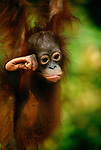 Bornean orangutan infant, Tanjung Puting National Park, Borneo, Indonesia