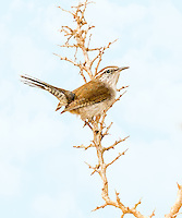 Bewick's Wren perched in thorny tree