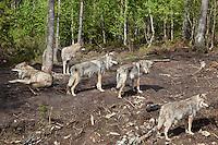 Ulveflokk, Namsskogan familiepark.