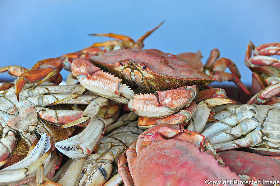 Dungeness Crabs, San Francisco Fisherman's Wharf, Pile of Crabs, Dinner<br />