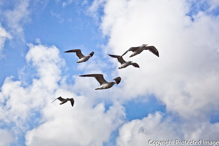 Seagulls against a sky of blue and puffy clouds