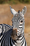 Africa, Kenya, Amboseli. Zebra portrait.