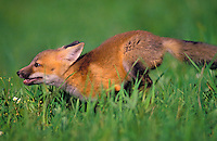 Red Fox pup running through meadow..Summer. (Vulpes vulpes).