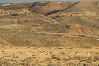 Herd of pronghorn in the Bighorn Basin of Wyoming