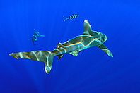 oceanic whitetip sharks, Carcharhinus longimanus, Big Island, Hawaii, Pacific Ocean