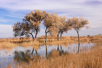 Cottonwood Trees reflecting in water at Bosque Del Apache NWR