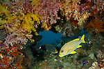 Ribbon Sweetlip, (Plectorhinchus polytaenia) in a coral crevice full of soft corals. Misool, Raja Ampat, West Papua, Indonesia,  January 2010