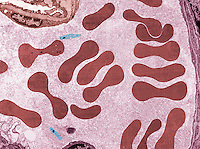 RED BLOOD CELLS<br />