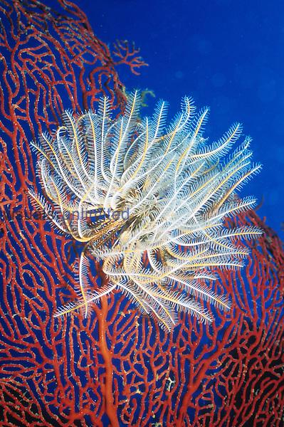 Crinoid on a Sea Fan.