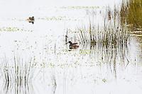 Australasian Grebe, Yuragir NP, NSW, Australia