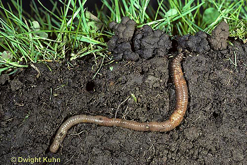 1Y01-022a  Earthworm  - in burrow, note castings at surface - Lumbricus terrestris