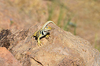 414390023 a wild great basin or desert collared lizard crotaphytus insularis bicinctores in bright breeding coloration perches on a rock near bishop in inyo county california