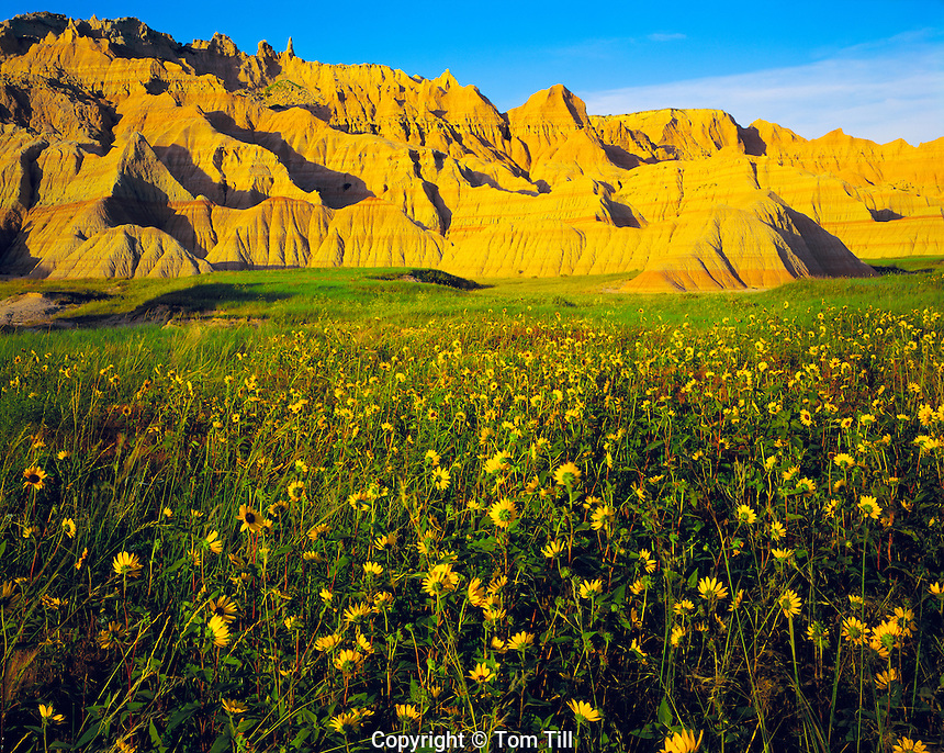 Sunflowers and Badlands, Badlands National Park, South Dakota